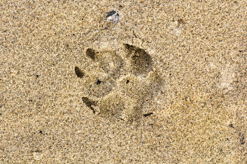 Dog foot print in the sand in summer royalty free stock images