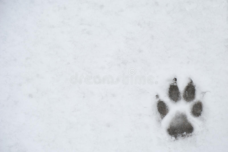 Dog foot print in a snow stock photo