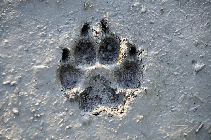 Dog foot print on wet ground. Texture, stone, pattern, rock, nature, abstract stock image