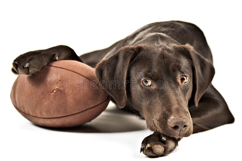 Dog with football. Dog resting his paw on American football. Photo isolated on white background