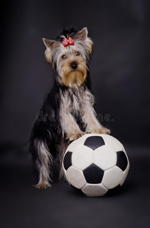 Download Dog with football stock image. Image of closeup, animal - 21678631