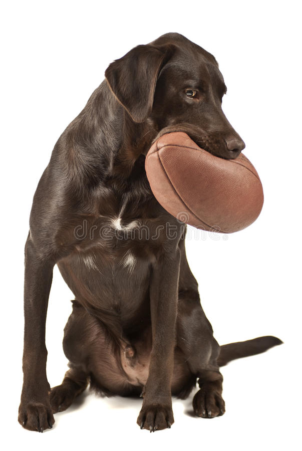 Dog with football royalty free stock photography
