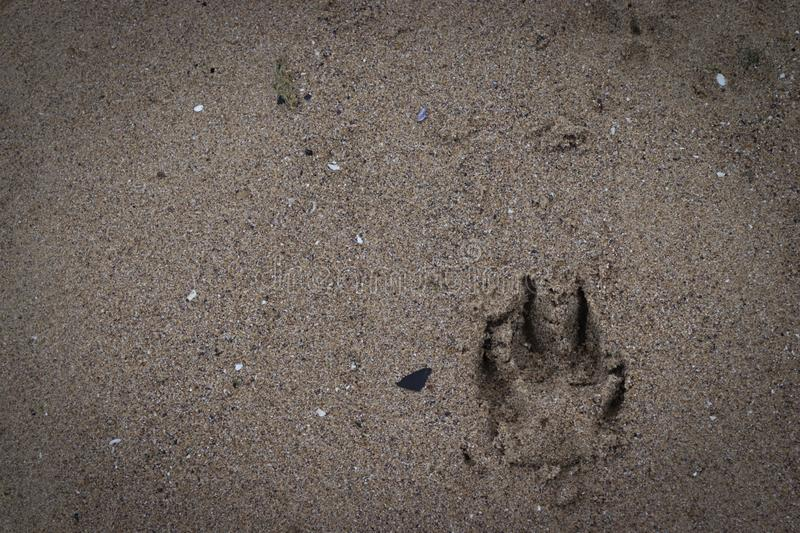 Dog footprints in the sand royalty free stock photography