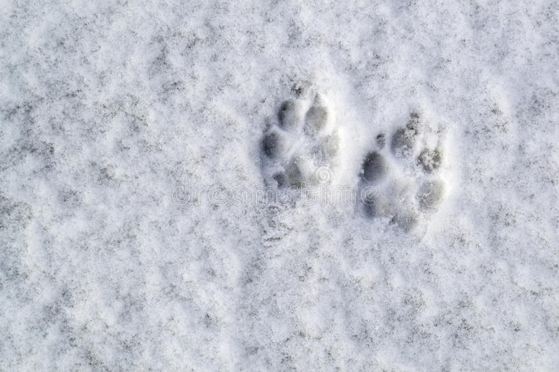 Dog footprints in the snow royalty free stock photo