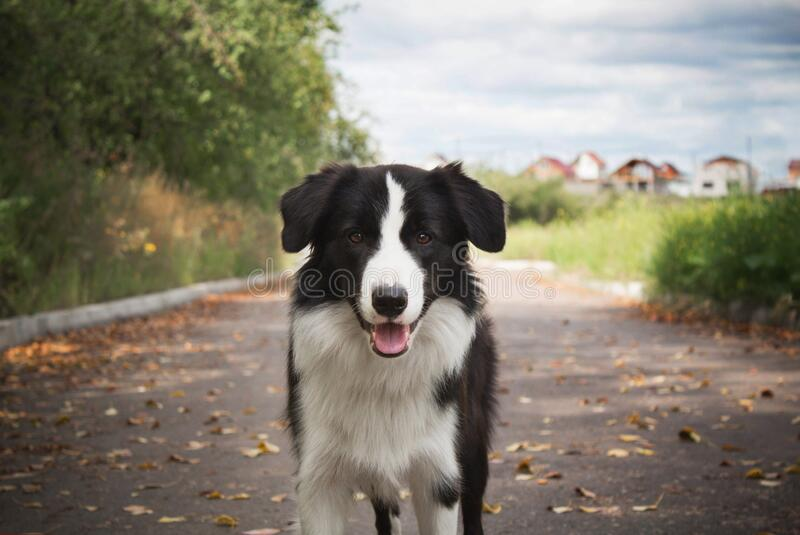 Dog in forest. Happy border collie dog in the woods stock photo