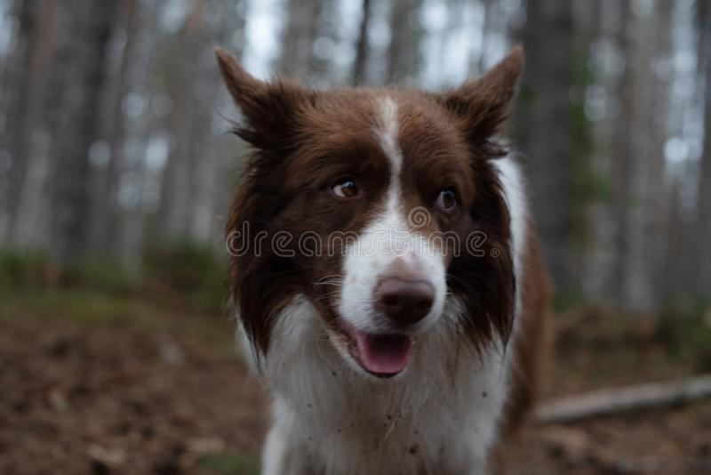 Dog in the forest. brown border collie in the forest. royalty free stock images