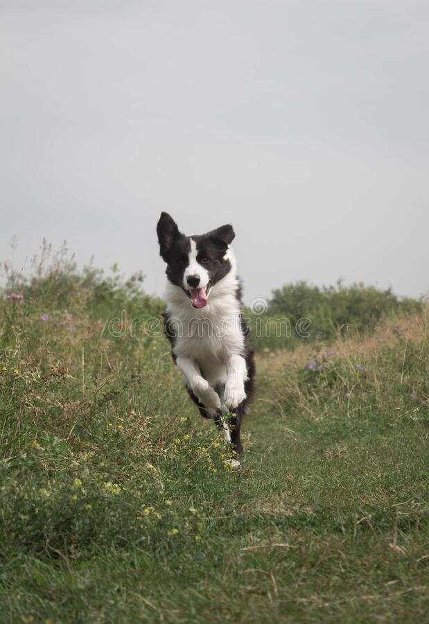Dog in forest. Happy border collie dog in the woods royalty free stock image