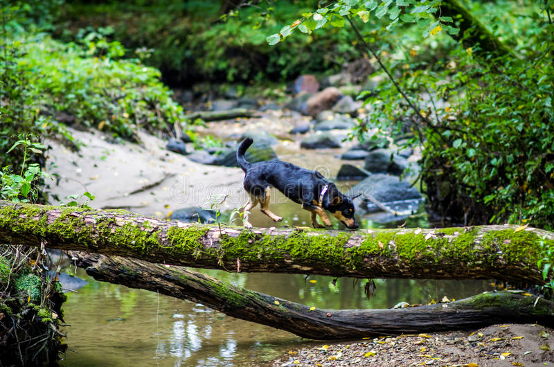Dog in forest near water. Walking through log royalty free stock photos