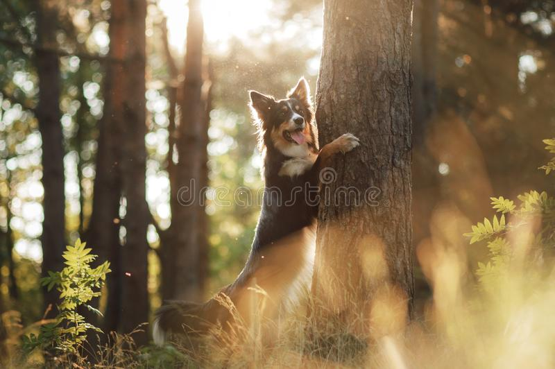 Dog in the forest the peeps. tricolor border collie in nature. Pet for a walk. In wood royalty free stock photo