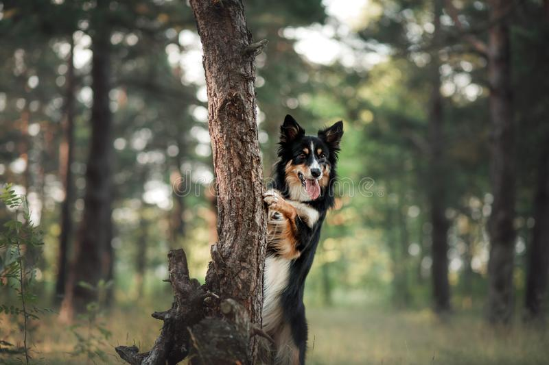 Dog in the forest the peeps. tricolor border collie in nature. Pet for a walk. In wood royalty free stock images