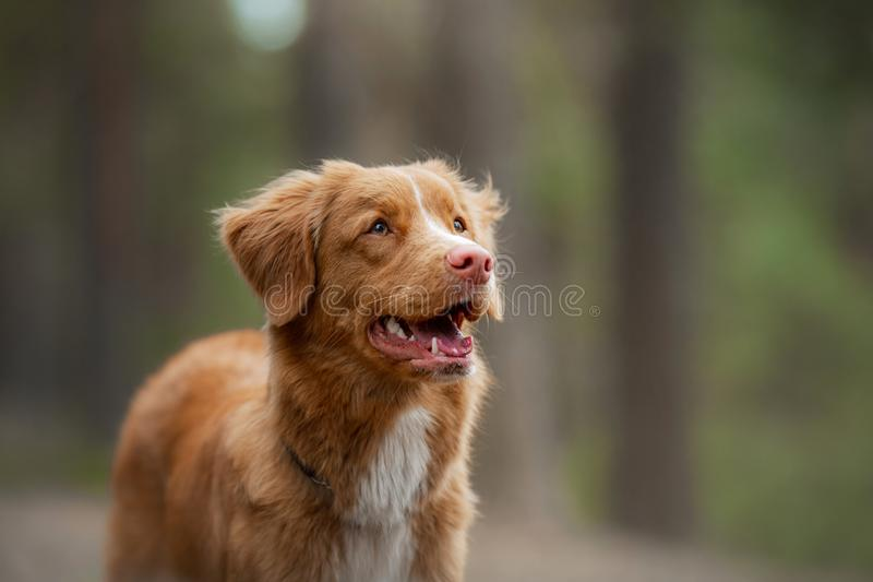 Dog in the forest. Retriever for a walk in nature. Redhead pet. Dog in the forest. Nova Scotia Duck Tolling Retriever for a walk in nature. Redhead pet royalty free stock photo