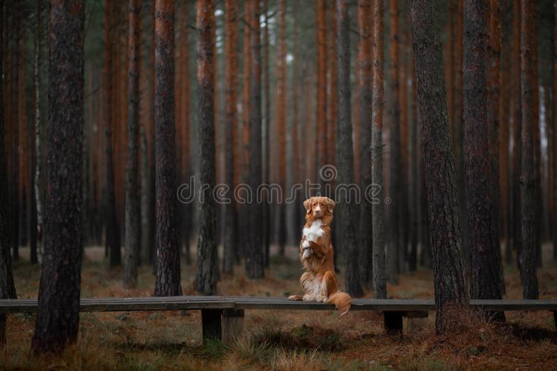 Dog in the forest. Retriever for a walk in nature. Redhead pet. Dog in the forest. Nova Scotia Duck Tolling Retriever for a walk in nature. Redhead pet royalty free stock photography