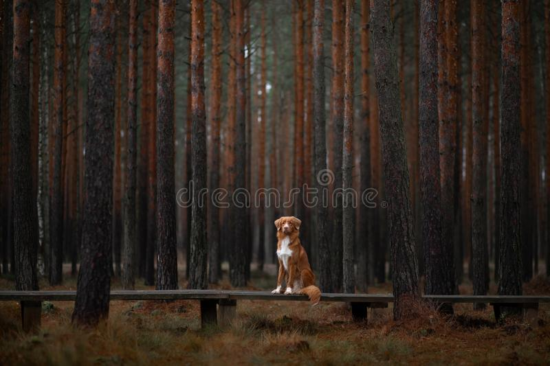 Dog in the forest. Retriever for a walk in nature. Redhead pet. Dog in the forest. Nova Scotia Duck Tolling Retriever for a walk in nature. Redhead pet royalty free stock photos