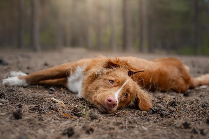 Dog in the forest. Retriever for a walk in nature. Redhead pet. Dog in the forest. Nova Scotia Duck Tolling Retriever for a walk in nature. Redhead pet stock photography