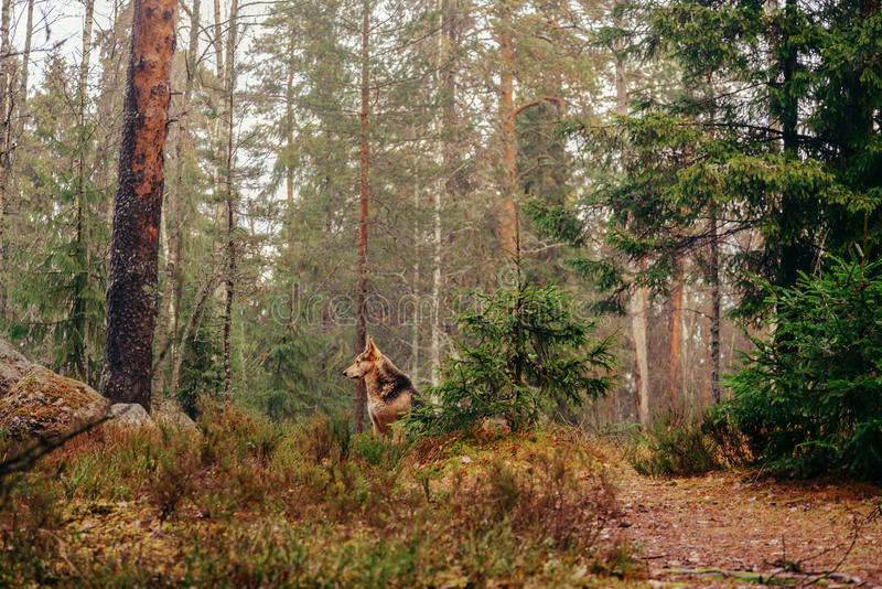 Dog in the forest royalty free stock photo