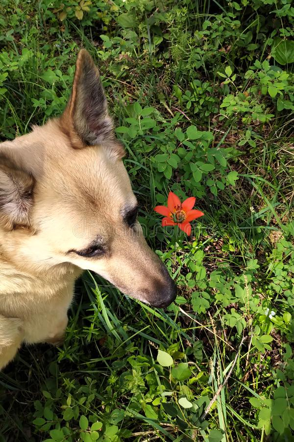 Dog in forest beside tiger lily stock photography