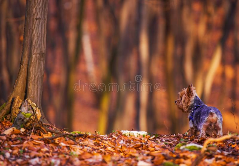 Dog Forest Walk. Middle Age Silky Terrier Fun in the Forest royalty free stock photo