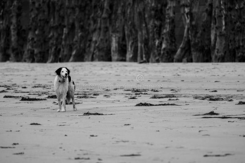 Dog in a french beach royalty free stock image