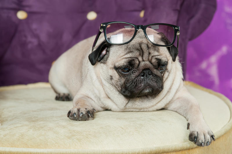 Dog French Bulldog thick with folds lies with bowed head in black sunglasses on top of business. Behind Purple background blur stock photos
