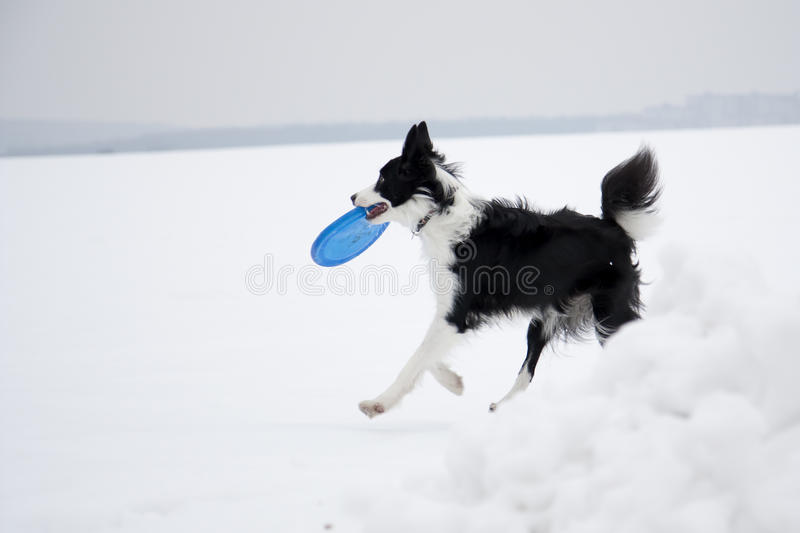Download Dog and frisbee stock photo. Image of collie, play, winter - 12673168