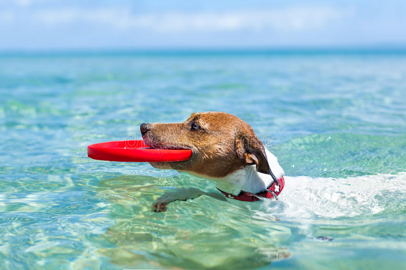 Dog frisbee. Dog catching a red frisbee and swimming in water