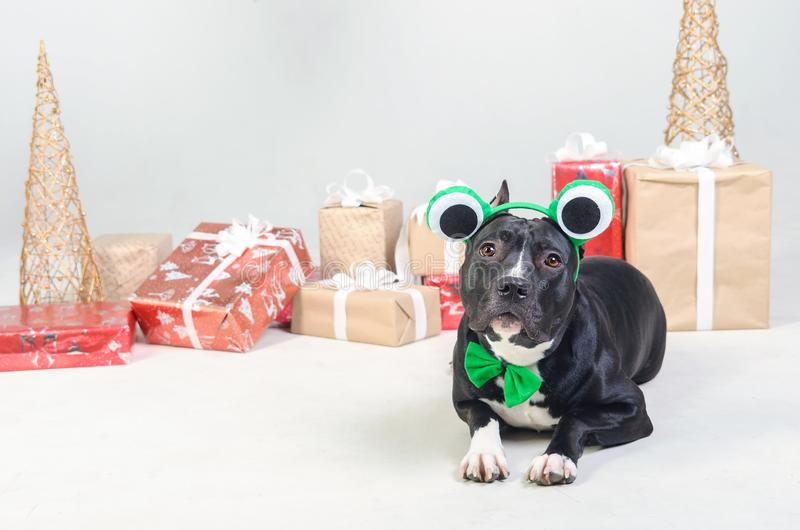 Dog in frog costume. Cute black dog is lying on floor among Christmas presents royalty free stock photography