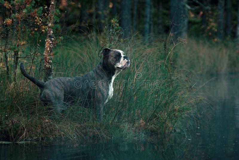 Dog in froggy woodland lake royalty free stock images