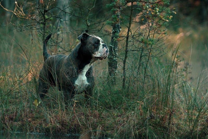Dog in froggy woodland lake royalty free stock photos