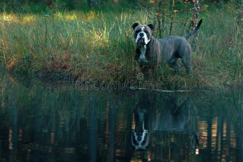Dog in froggy woodland lake stock photos