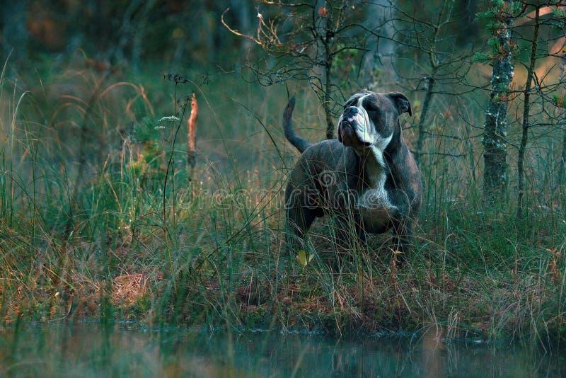 Dog in froggy woodland lake stock images