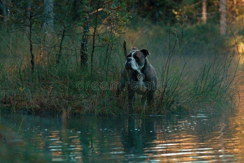 Dog in froggy woodland lake royalty free stock image