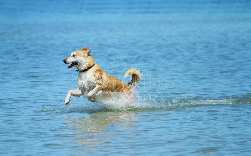Dog frolicking in water stock photography
