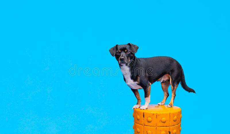 Dog in front of blue background. A black dog stands on an orange pillar in front of a blue background. He's a very good boy in an indoor studio stock photos