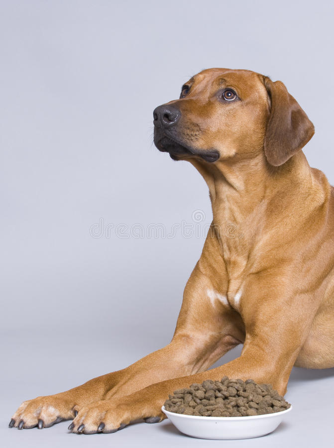 Dog with a full food bowl stock image