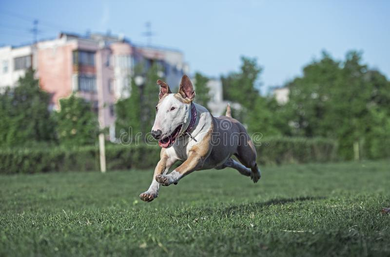 Dog fun running along the grass. Behind the ball in the sunlight stock image