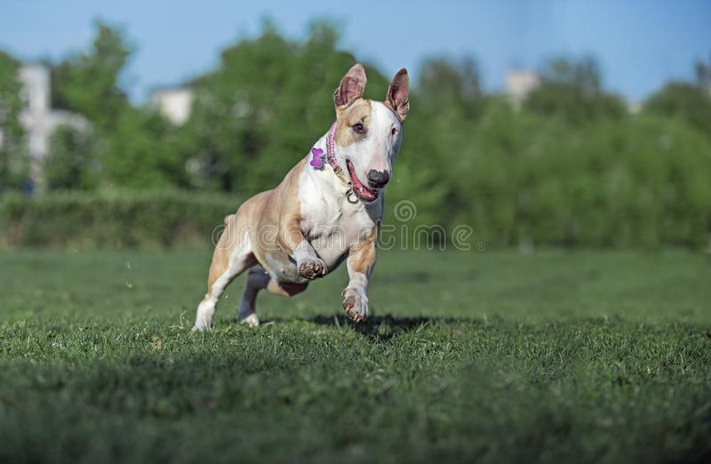 Dog fun running along the grass. Behind the ball in the sunlight royalty free stock photo