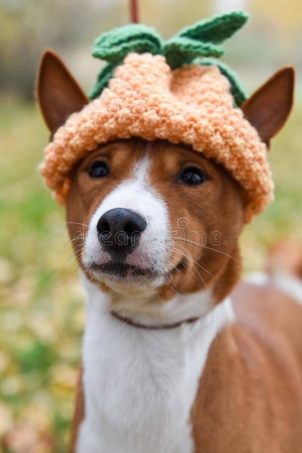 Dog in a funny knitted hat in the form of pineapple for Christmas or New Year or for a party stock image