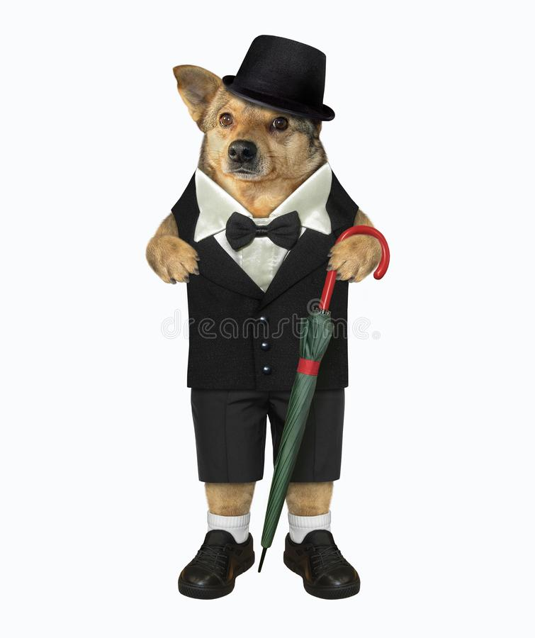Dog gentleman with umbrella royalty free stock image