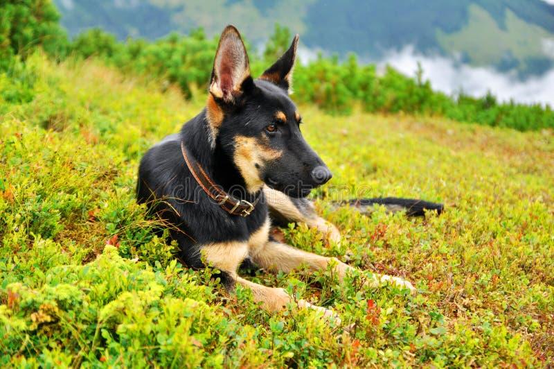Dog german shepherd royalty free stock photography