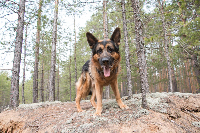 Dog german shepherd in the forest. In a nice day stock photos
