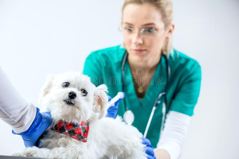 The dog gets an injection stock photos