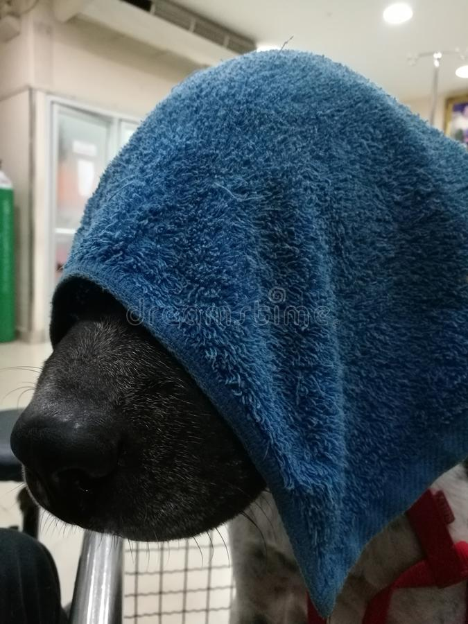 Dog gets sick at hospital. Dog sick with towel on face stock images