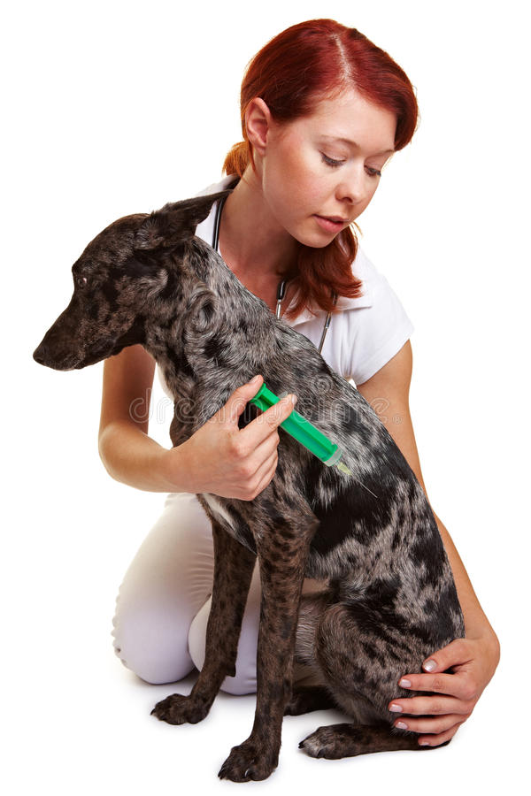 Dog getting injection at the vet stock photography