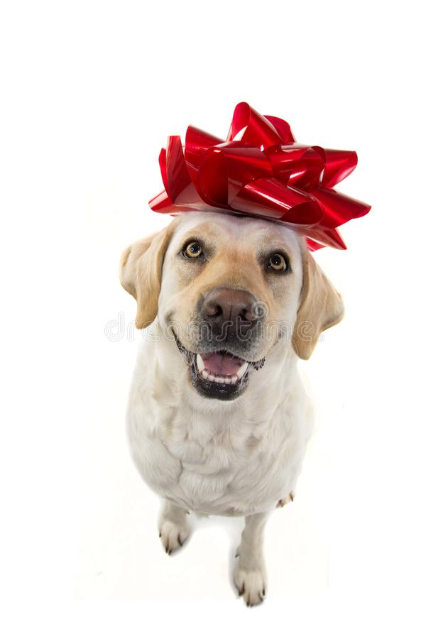 DOG GIFT. LABRADOR WITH A BIG RED BOW ON HEAD. PUPPY OR PET PRESENT FOR CHRISTMAS OR BIRTHDAY CONCEPT. ISOLTED SHOT AGAINST stock photo