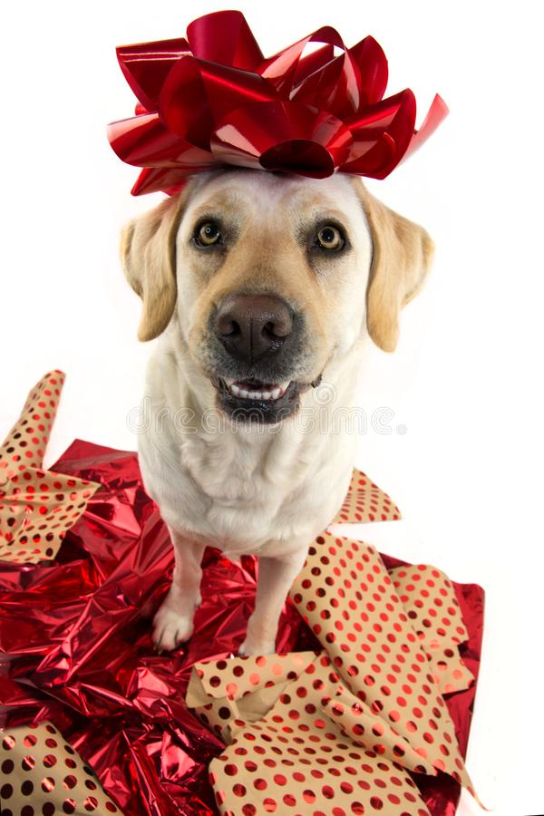 DOG GIFT. LABRADOR SITTING OVER RED WRAPPING PAPER WITH A RED BOW ON HEAD. PUPPY OR PET PRESENT FOR CHRISTMAS CONCEPT royalty free stock photography