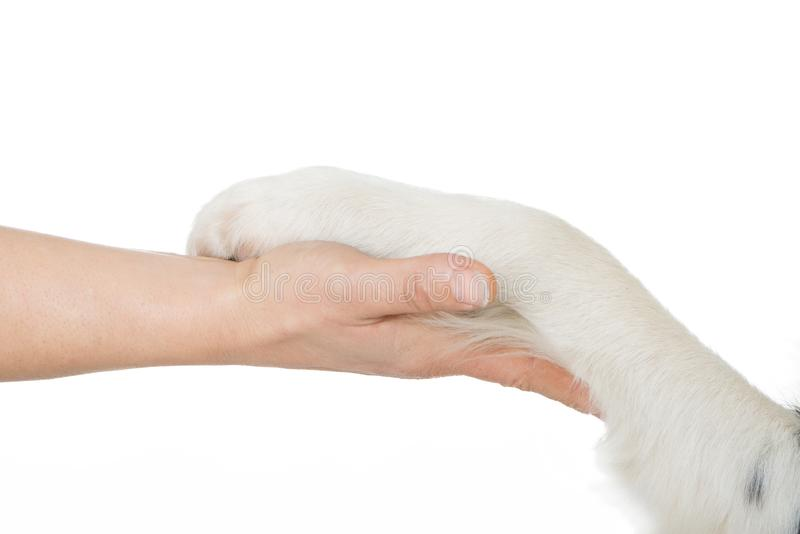 Dog gives human the paw. Border collie dog gives human the paw isolated on white background stock photos