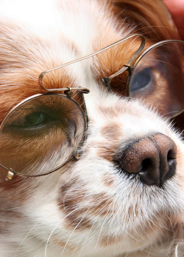 Dog with glasses. Dog with reading glasses on his head
