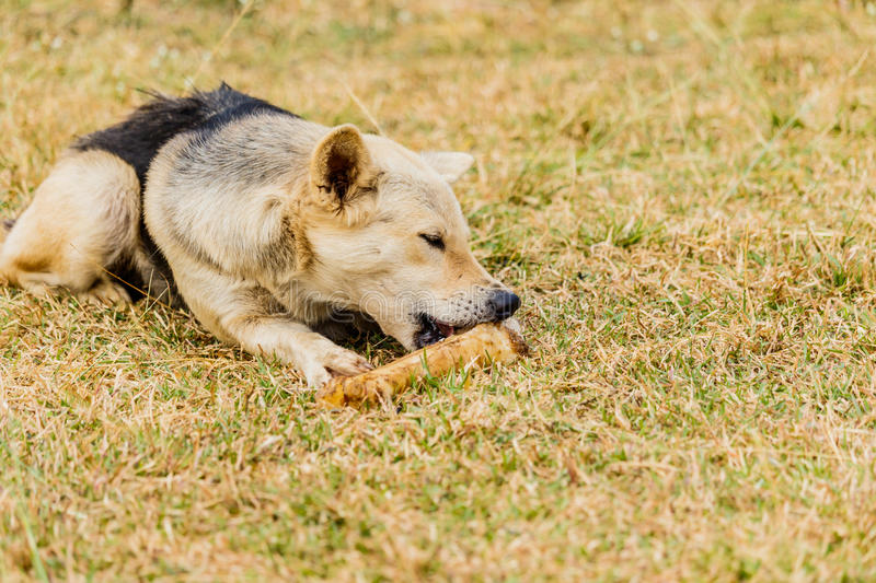 Dog gnawing on a bone in the Grass. Dog gnawing on a bone in the Grass royalty free stock photo