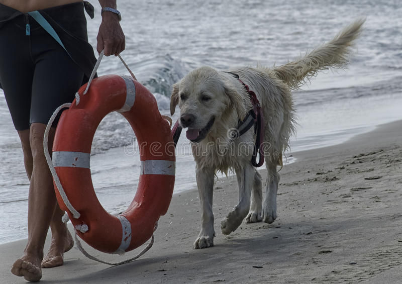 Dog goes away from the beach royalty free stock image
