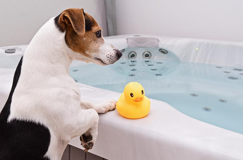 Dog is going to take bath with yellow rubber duck royalty free stock photos